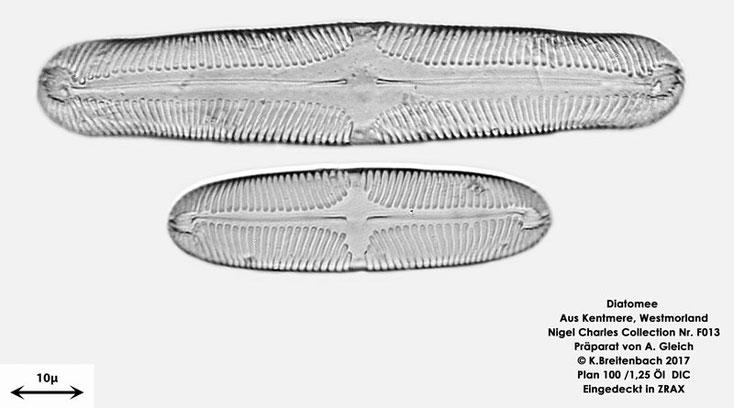 Bild 16 Diatomeen aus Kentmere Westmoreland UK Art: Unbekannt