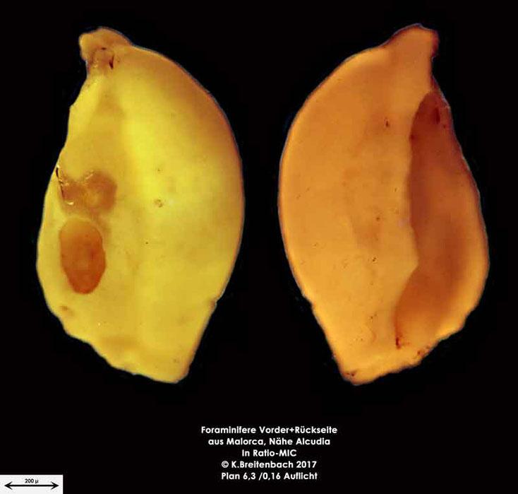 Bild 8 Foraminiferen aus Mallorca; Gattung: Quinqueloculina spec.