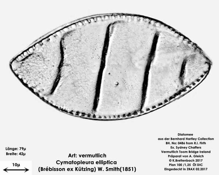 Bild 18 Diatomee aus Toomebridge Irland, Süßwasser Art: vermutlich Cymatopleura elliptica (Brébisson ex Kützing) W.Smith (1851)