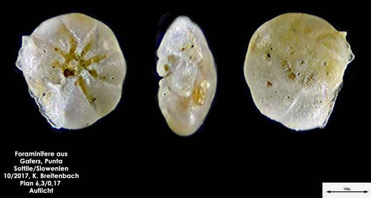 Bild 12 Foraminiferen aus Sand von Punta Sottile. Gattung: konnte nicht bestimmt werden
