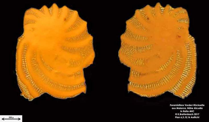 Bild 16 Foraminiferen aus Mallorca; Gattung: Unbestimmt von mir