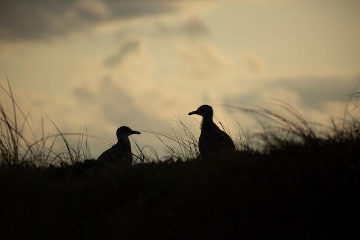 Zwei Möwen als Silhuetten im Gras vor Abendhimmel