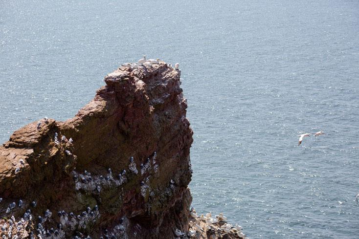 Foto von Baßtölpeln auf roten Felsen auf der Insel Helgoland