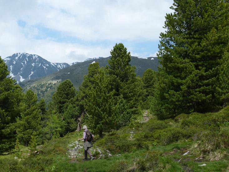 God Tamangur, het grootste aaneengesloten arvenbos van Europa