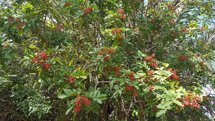 roter Pfeffer wächst überall auf dem Campingplatz