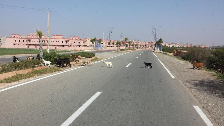 """""""Ziegen ohne Nerven"""" beim Überqueren der vierspurigen Nationalstrasse"""