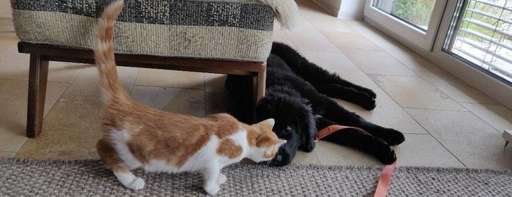 Hovawart und Katze