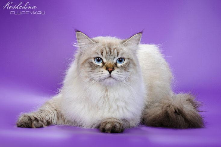 невская маскарадная (сибирская) кошка питомник Рязань
