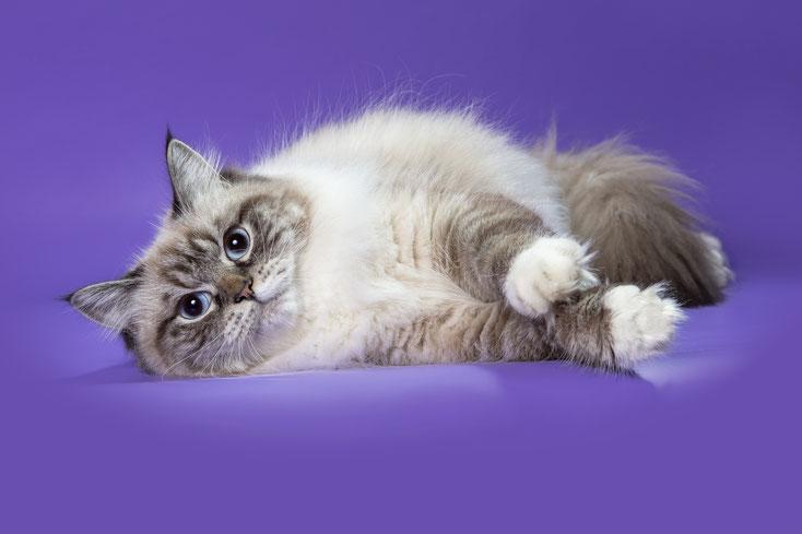 сибирская (невская маскарадная кошка) Рязань