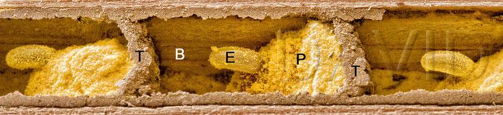 Mauerbiene Brutzelle Lehmwand