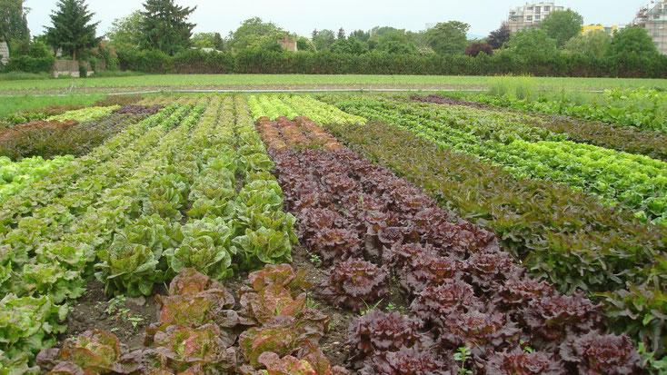 Verschiedene Salatsorten auf dem Acker