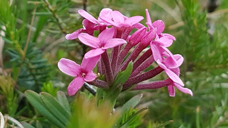 Daphne cneorum (Flaumiger Seidelbast) Monte San Salvatore 11.5.19 Bild: Marcel Ambühl