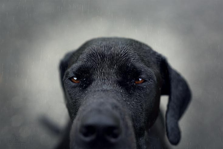Ridgeback_schwarz_Dogge_Rhodesian Ridgeback_Deutsche Dogge_Hund_Portrait_Recklinghausen_Fotografin Julia Neubauer