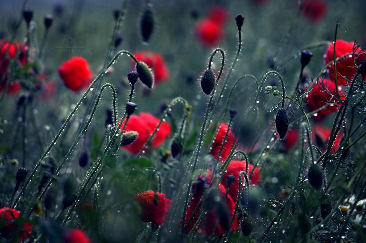 Blumen_Mohn_Regen_Die Roadies_Landschaft_Fotografin Julia Neubauer