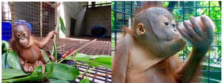 Manfred beim Versuch, ein Nest zu bauen, und eine Frucht aus einem Eiswürfel zu bekommen. Man sieht auch schon die Ansätze der typischen Wangenbacken, die die männlichen Orangutans später bekommen.