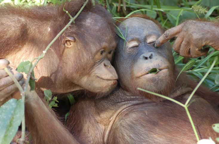 Victoria und Felix... was ist das da zwischen den Lippen?? ®Sintang Orangutan Center