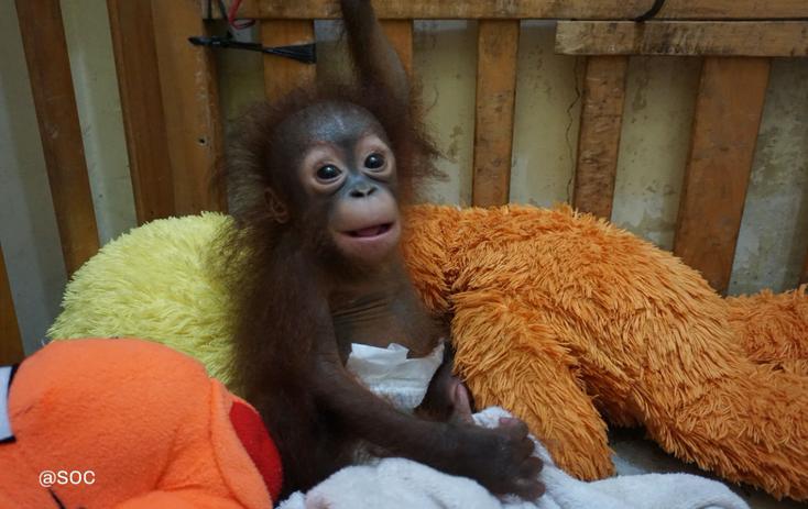 ®Sintang orangutan center, Baby Julia in Sintang angekommen