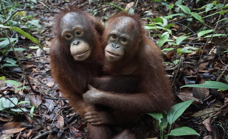 Mona und Aming in Jerora, der Waldschule, ®Sintang Orangutan Center