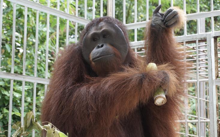 Mamat genießt sein Beschäftigungsprogramm, ®Sintang Orangutan Center