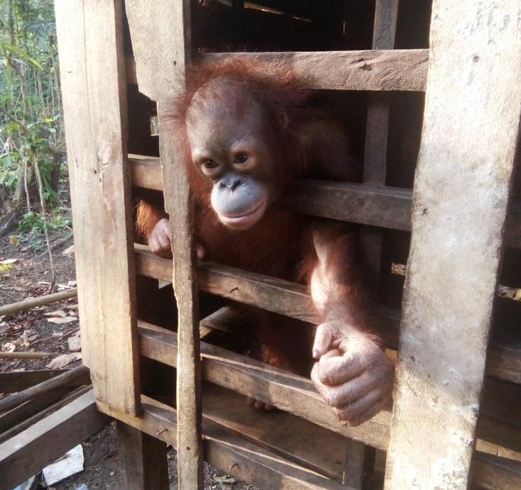 Ein Holzverschlag, jahrelang das Zuhause dieses Orangutan-Männchens, Foto: Sintang Orangutan Center