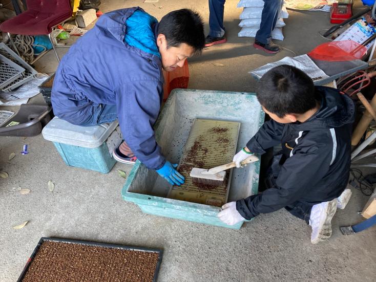 古代米(みどり糯)の種まき