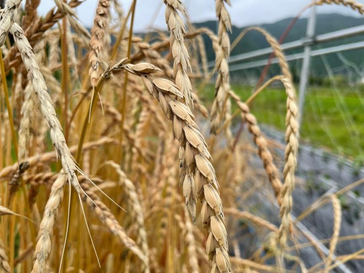 2021年 スペルト小麦の麦穂