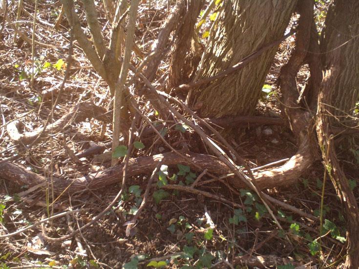 racines vigne vierge