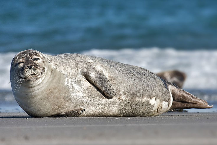 phoque veau marin baie de somme comportement taille poids repartition longevite reproduction habitat