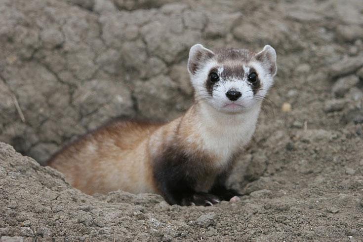 fiche animaux sauvages putois à pieds noirs amerique du nord black-footed ferret