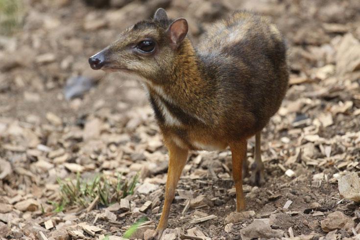 chevrotin de balabac pilanfok cerf souris comportement taille poids repartition longevite reproduction habitat
