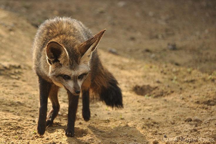 otocyon renard a oreilles de chauve souris animaux sauvages comportement habitat repartition longevite alimentation poids taille