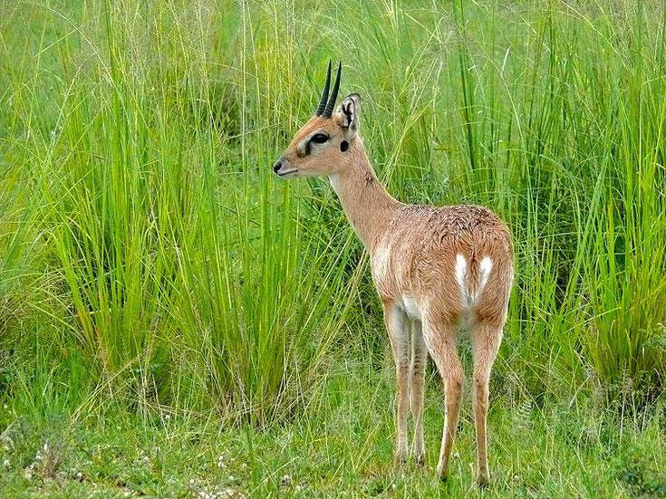 fiche animaux ourebi mammifere afrique antilope poids taille habitat distribution alimentation reproduction