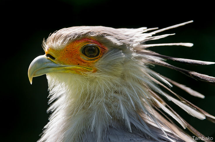 messager sagittaire secretaire fiche oiseaux animaux sauvages comportement habitat repartition longevite alimentation poids taille