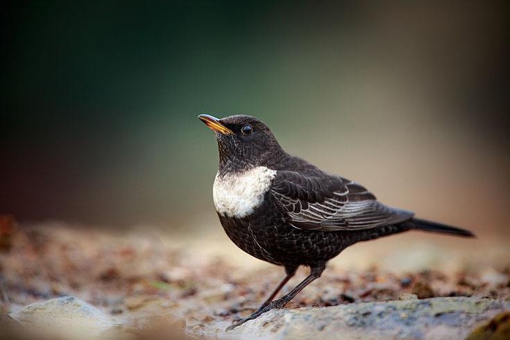 fiche animaux merle à plastron comportement habitat taille poids distribution reproduction ring ouzel