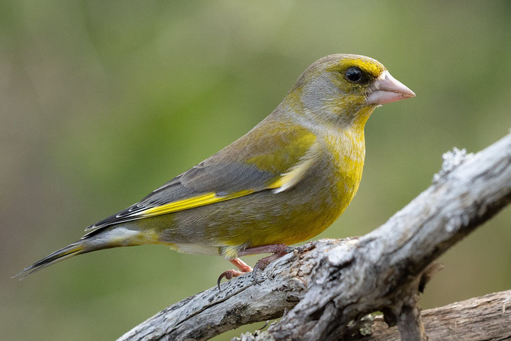 verdier d'europe fiche oiseaux animaux sauvages comportement habitat repartition longevite alimentation poids taille