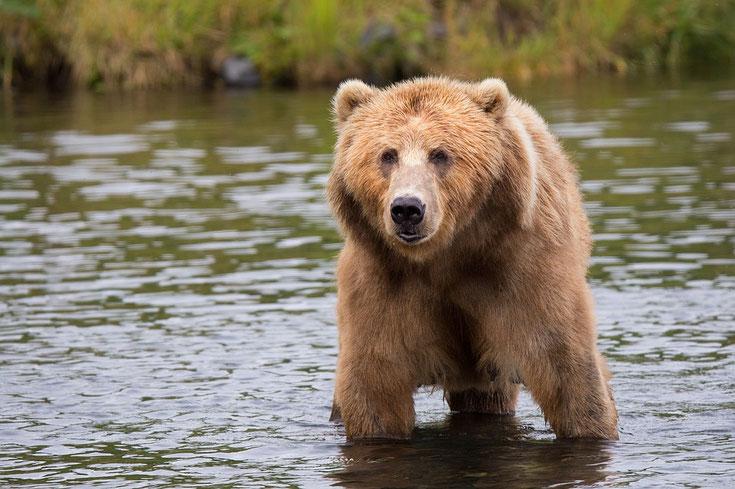 kodiak ours fiche animaux comportement taille poids repartition longevite reproduction habitat