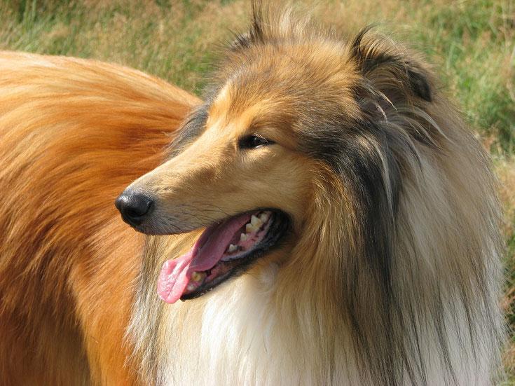 race de chien fiche le colley à poil long lassie chien de cinema berger d'écosse origine caractere poil sante