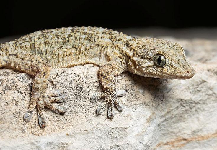 fiche animaux reptile tarente gecko du midi comportement habitat taille poids distribution reproduction