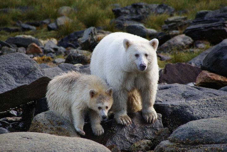 ours esprit kermode bear fiche  comportement taille poids repartition longevite reproduction habitat
