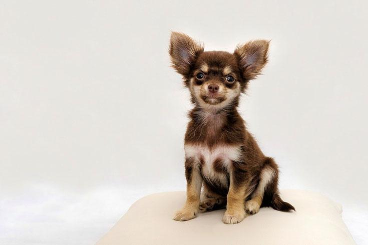 chihuahua fiche race chien caractere origine comportement poil couleur sante