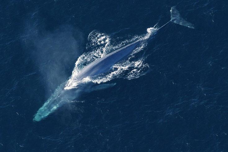 baleine bleue rorqual fiche  comportement taille poids repartition longevite reproduction habitat