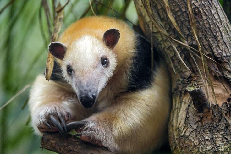 tamandu du mexique fiche animaux mammiferes sauvages comportement habitat repartition longevite alimentation poids taille