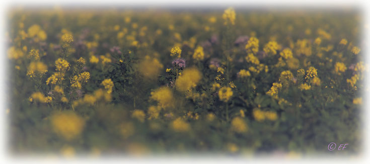 Ein Rapsfeld im Herbst gepaart mit Büschelschönpflanzen