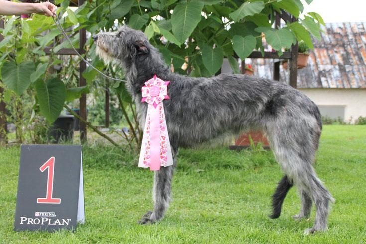 Scottish Deerhounds aus liebevoller Familienaufzucht! Hier und da haben wir entzückende Deerhound Welpen abzugeben! Deerhound Züchterin Nadja Koschwitz aus Bauler/Rheinland-Pfalz/GER!