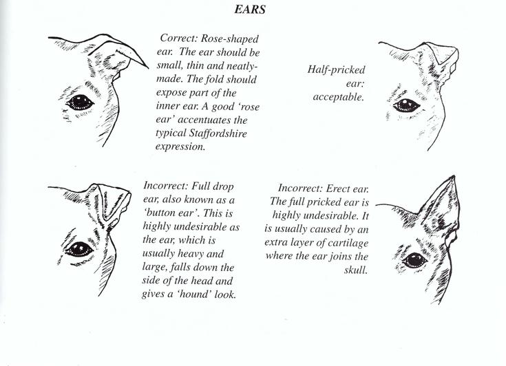 Orecchie Staffordshire Bull Terrier