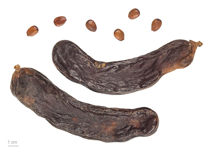 Carob pods and seeds (c) Roger Culos Wikimedia