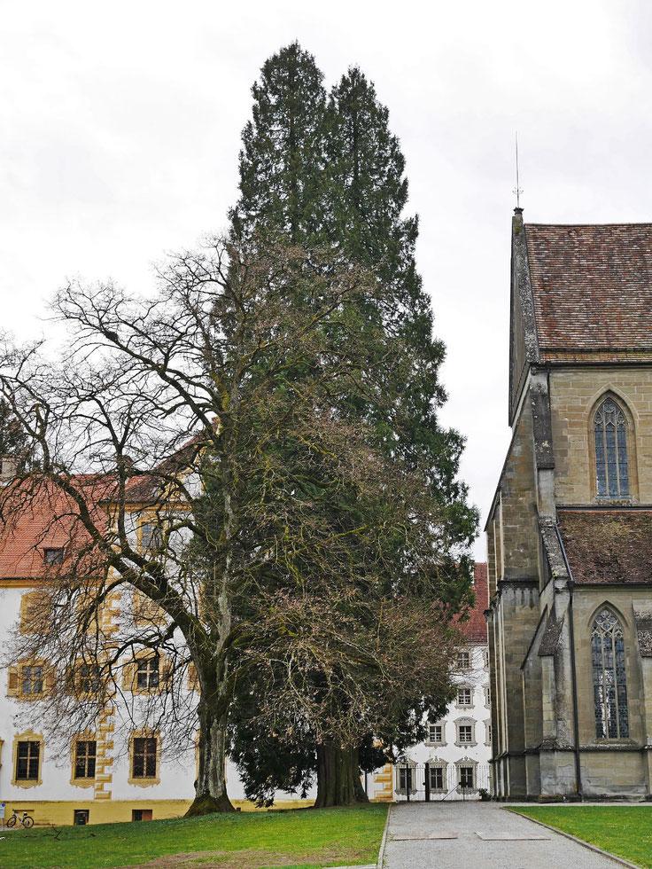 Riesenlebensbaum beim Schloss Salem bei Salem
