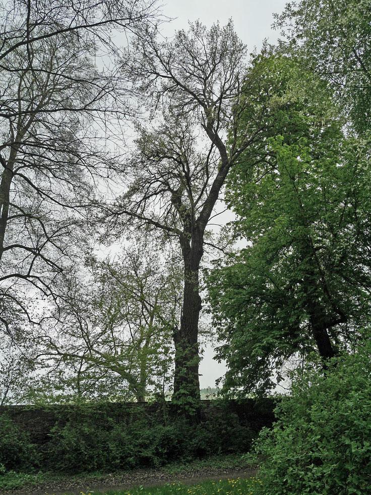 Graupappel im Park Bendeleben