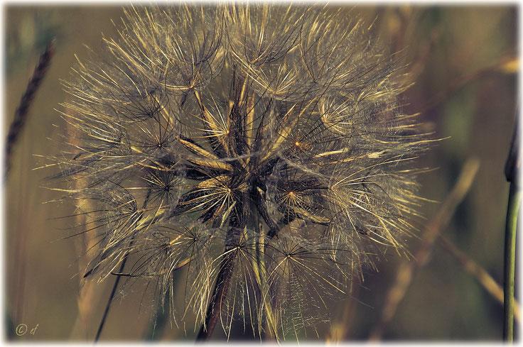 Die große Pusteblume des Wiesen-Bocksbarts