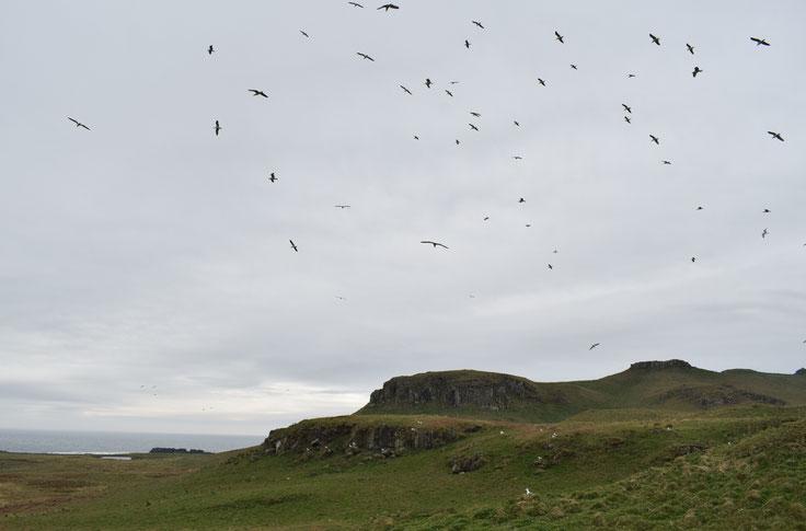 Seabirds, Isle of Muck